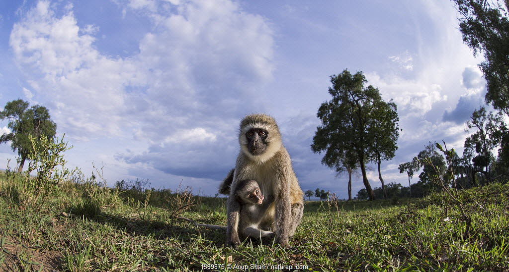 Vervet monkey (Cercopithecus aethiops) female and baby watching with curiosity, remote camera perspective, Maasai Mara National Reserve, Kenya.