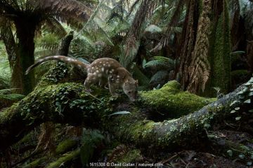 Spotted-tailed quoll (Dasyurus maculatus) scent marking in Monga National Park, New South Wales, Australia.
