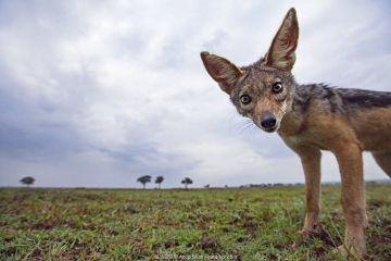 Black-backed jackal approaching with curiosity - remote camera (Canis mesomelas). Masai Mara National Reserve, Kenya.