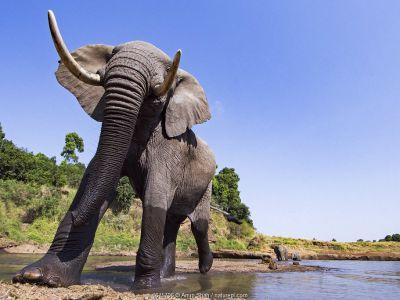 African elephant (Loxodonta africana) near water approaching - remote camera. Masai Mara National Reserve, Kenya.