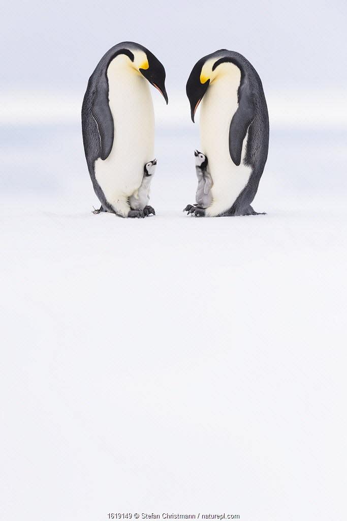 Emperor penguin (Aptenodytes forsteri), two adults brooding begging chicks aged five weeks. Atka Bay, Antarctica. September.