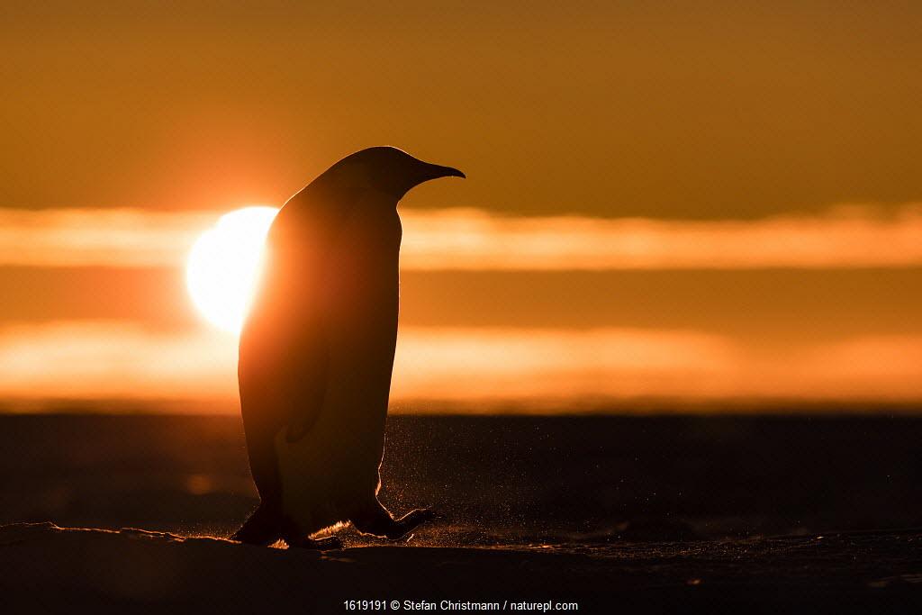 Emperor penguin (Aptenodytes forsteri) silhouetted at sunset. Atka Bay, Antarctica. September.