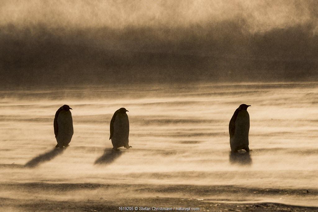 Emperor penguin (Aptenodytes forsteri), three in a row, walking through drifting snow to feed young. Atka Bay, Antarctica. September.