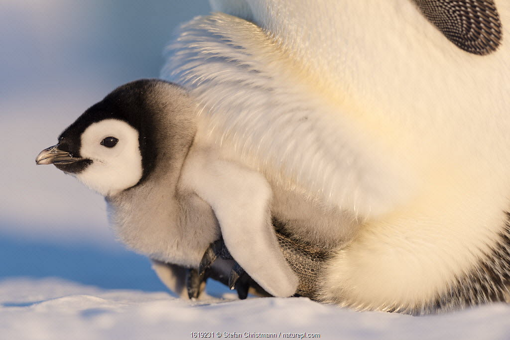 Emperor penguin (Aptenodytes forsteri) chick aged six to eight weeks sheltering on parent's feet, portrait. Atka Bay, Antarctica. September.