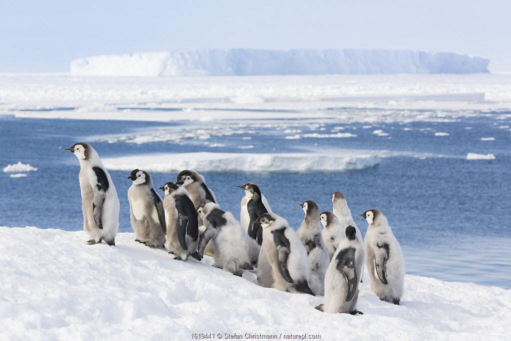 Emperor penguin (Aptenodytes forsteri) group of fledglings aged 20-24 weeks overlooking melting sea ice. Atka Bay, Antarctica. January 2017.