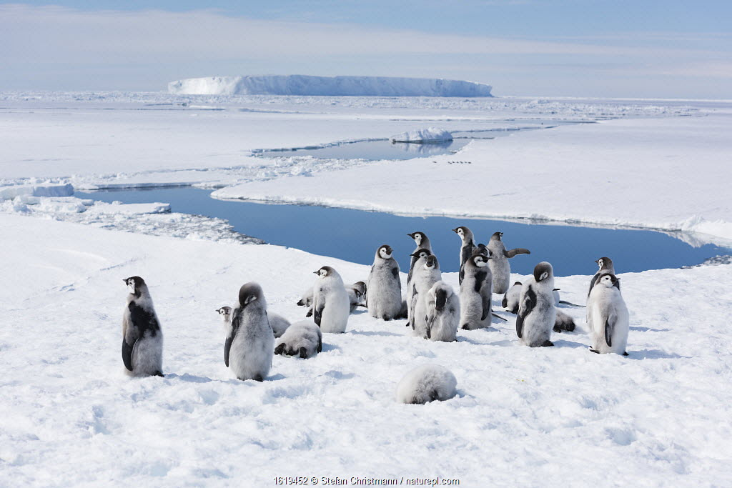 Emperor penguin (Aptenodytes forsteri) fledglings aged 20-24 weeks in moult, standing above thawing sea ice. Atka Bay, Antarctica. January 2017.