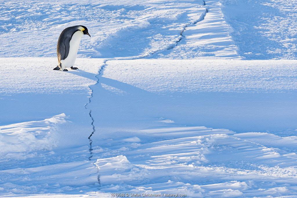 Emperor penguin (Aptenodytes forsteri) walking across crack in sea ice during return to breeding colony. Atka Bay, Antarctica. April.