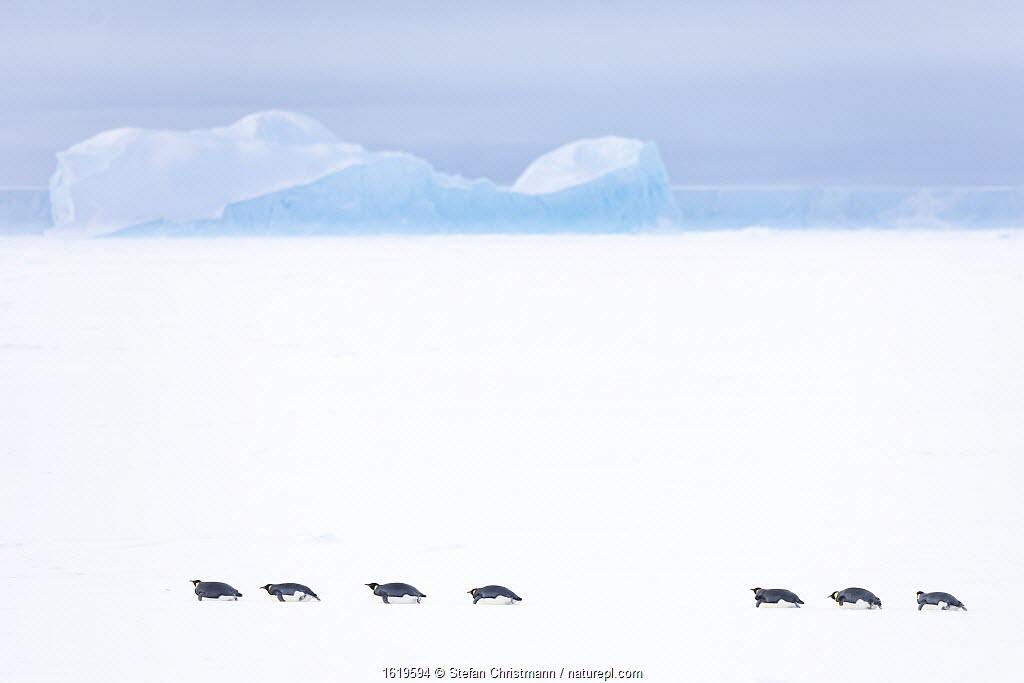 Emperor penguin (Aptenodytes forsteri) group sliding over sea ice, returning to form breeding colony. Iceberg in background. Atka Bay, Antarctica. April 2017.