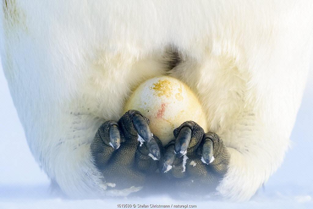 Emperor penguin (Aptenodytes forsteri), recently laid egg incubating on feet. Atka Bay, Antarctica. June.