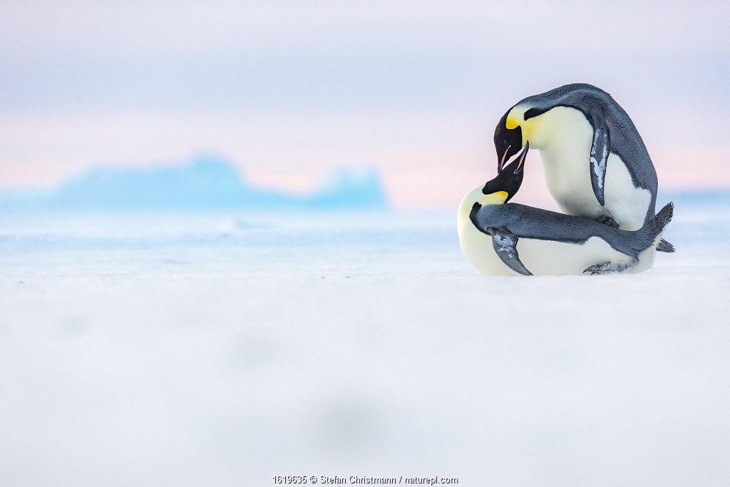 Emperor penguin (Aptenodytes forsteri) pair mating on sea ice. Atka Bay, Antarctica. May.