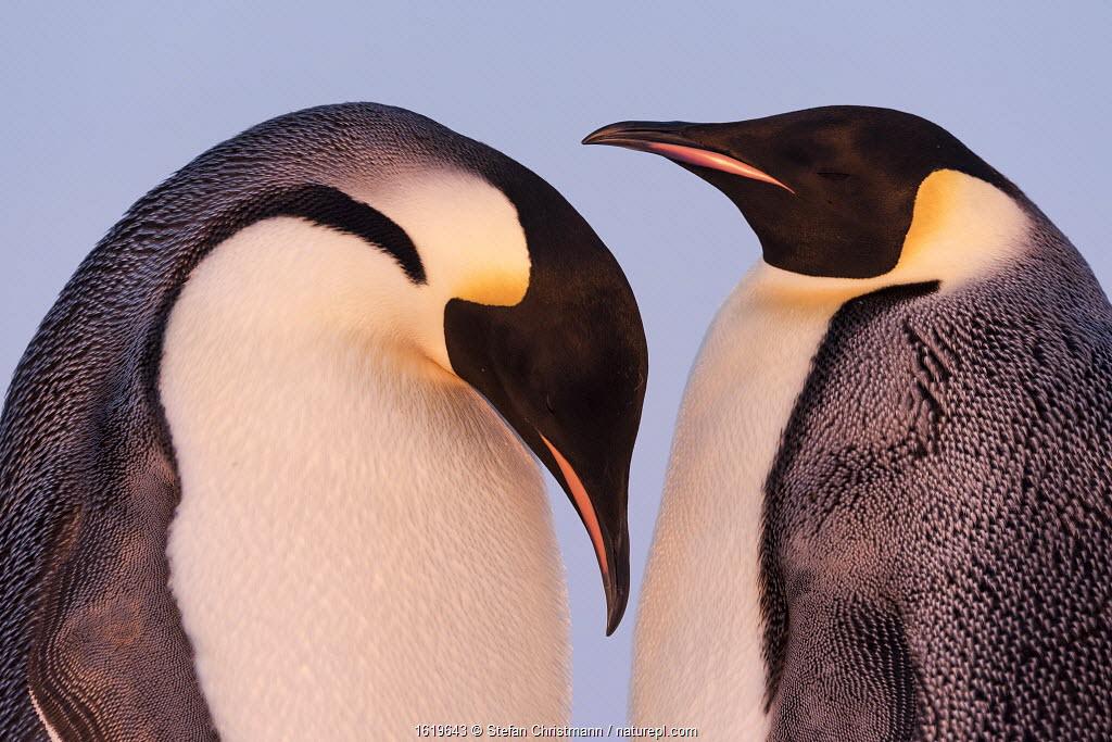 Emperor penguin (Aptenodytes forsteri) pair in courtship. Atka Bay, Antarctica. May.
