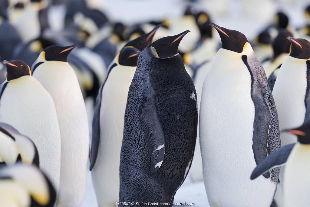 Emperor penguin (Aptenodytes forsteri), pair within breeding colony in courtship, male melanistic. Atka Bay, Antarctica. May.