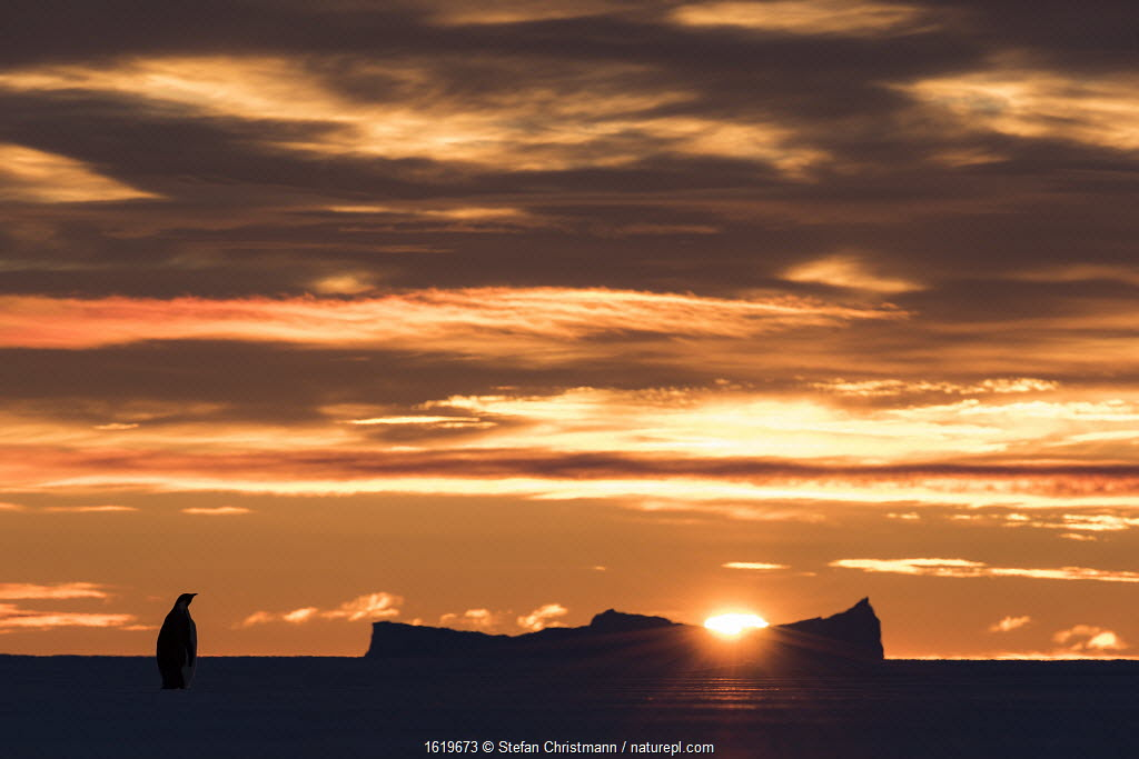Emperor penguin (Aptenodytes forsteri) on sea ice at sunrise. Atka Bay, Antarctica. May 2017.