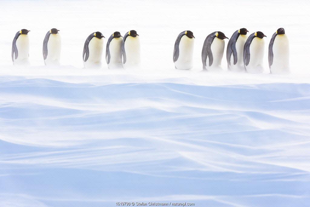 Emperor penguin (Aptenodytes forsteri) group of brooding males amongst drifting snow. Atka Bay, Antarctica. August.