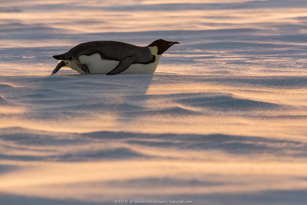 Emperor penguin (Aptenodytes forsteri) tobogganing across sea ice. Atka Bay, Antarctica. August.