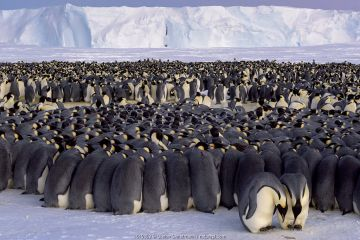 Emperor penguin (Aptenodytes forsteri) colony, males huddling whilst incubating eggs. Atka Bay, Antarctica. July. Photographer