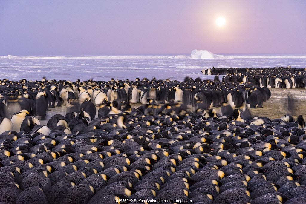 Emperor penguin (Aptenodytes forsteri) colony huddled during polar night, males incubating eggs. Atka Bay, Antarctica. July 2017.