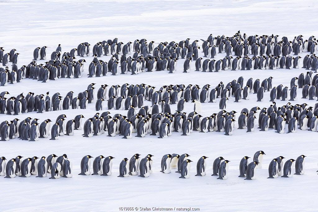 Emperor penguin (Aptenodytes forsteri) males incubating eggs , relocating. Atka Bay, Antarctica. July.