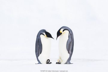 Emperor penguin (Aptenodytes forsteri), two males, one with hatching egg, the other with young chick. Atka Bay, Antarctica. August. Winner of the Bird Category of the GDT Nature Photographer of the Year 2019