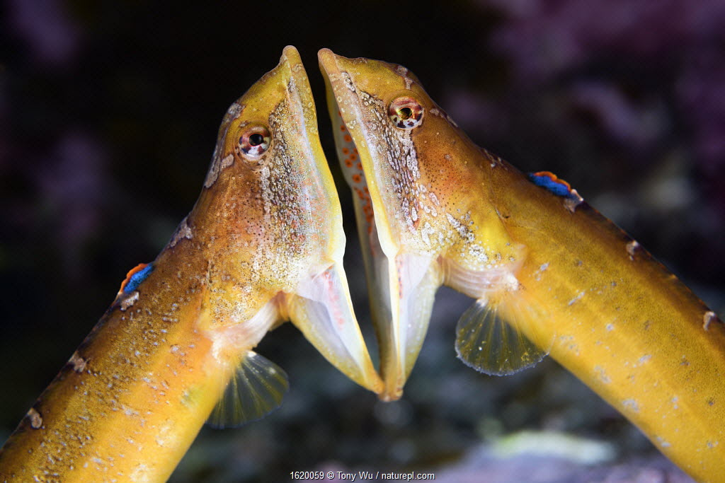 Two male Zoarchias major eelpouts (Zoarchias major) engaged in a mouth-to-mouth confrontation. Yamaguchi Prefecture, Japan, Pacific Ocean.