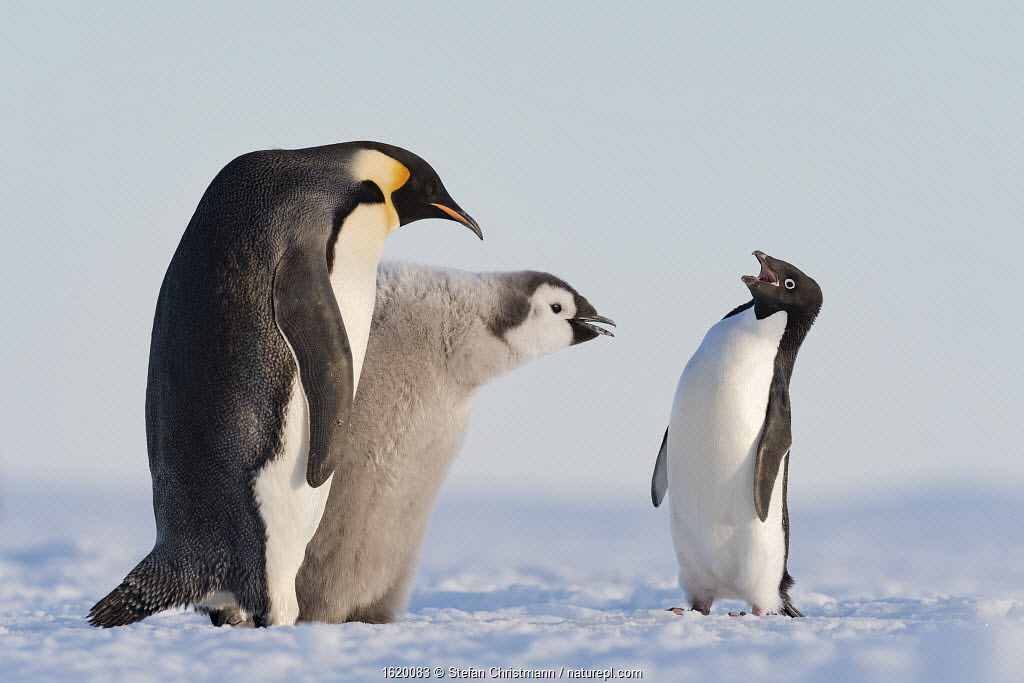 Adelie penguin (Pygoscelis adeliae) aggressive interaction with Emperor penguin (Aptenodytes forsteri) and chick, Atka Bay, Queen Maud Land, Antarctica.