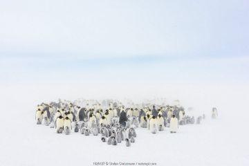 Emperor penguin (Aptenodytes forsteri) colony with chicks, Atka Bay, Queen Maud Land, Antarctica. October.