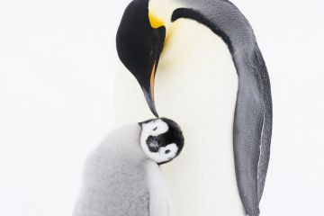 Emperor penguin (Aptenodytes forsteri) preening chick, age 9-12 weeks, Atka Bay, Queen Maud Land, Antarctica. October. Sequence