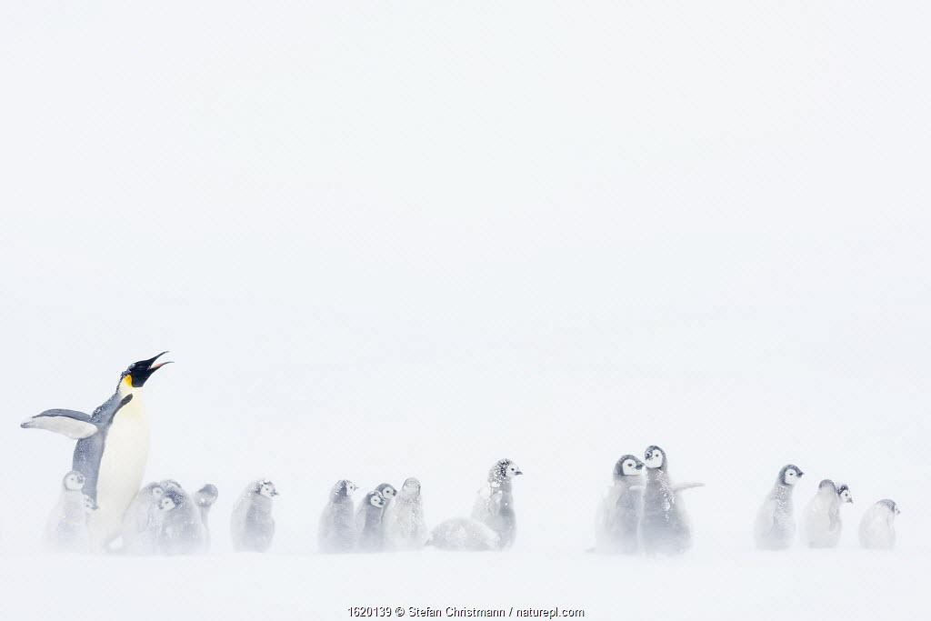 Emperor penguin (Aptenodytes forsteri) with creche of chicks, Atka Bay, Queen Maud Land, Antarctica. October.