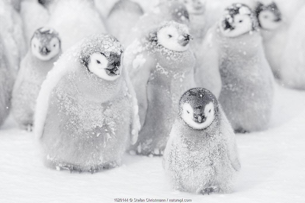 Emperor penguin (Aptenodytes forsteri) chicks in creche, Atka Bay, Queen Maud Land, Antarctica. October.