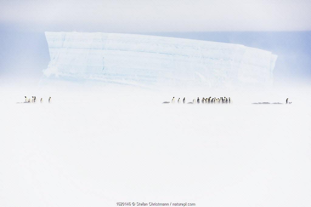 Emperor penguin (Aptenodytes forsteri) group walking infront of iceberg, Atka Bay, Queen Maud Land, Antarctica. October.