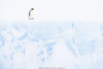 Emperor penguin (Aptenodytes forsteri) Atka Bay, Queen Maud Land, Antarctica. October.