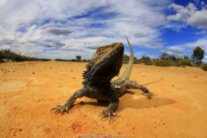 Central bearded dragon (Pogona vitticeps) basking in mallee / heathland habitat on the Murrayville Track in the Big Desert Wilderness of north-western Victoria, Australia.