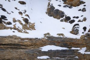 Snow leopard (Panthera uncia) female with juvenile, walking in snow, in Spiti Valley, Cold Desert Biosphere Reserve, Himalaya, Himachal Pradesh, India