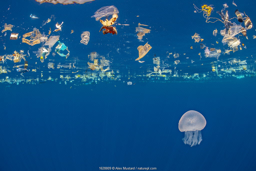 Jellyfish (Catostylus sp.) swims beneath a slick of plastic debris. Indian Ocean off Sri Lanka.