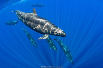 Pod of False killer whales (Pseudorca crassidens) swimming beneath the surface of the ocean. Indian Ocean, off Sri Lanka.