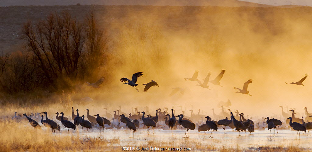 Sandhill cranes (Antigone canadensis) and Snow geese (Chen caerulescens) at sunrise, Bosque del Apache National Wildlife Refuge, New Mexico, USA