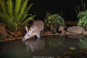 Aardvark (Orycteropus afer) drinking at night, Zimanga private game reserve, KwaZulu-Natal, South Africa.
