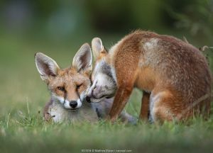 Red fox (Vulpes vulpes) dog interacting with a vixen in an urban garden. North London, UK.