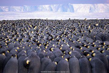 Emperor penguin (Aptenodytes forsteri) colony, males huddling whilst incubating eggs. Atka Bay, Antarctica. July.