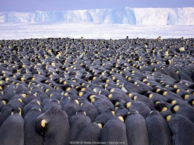 Emperor penguin (Aptenodytes forsteri) colony, males huddling whilst incubating eggs. Atka Bay, Antarctica. July.