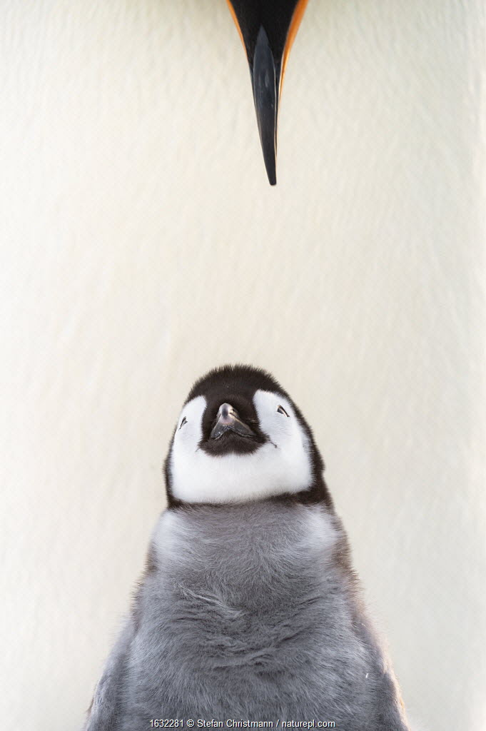 Emperor penguin (Aptenodytes forsteri) chick looking upwards to parents beak. Atka Bay, Antarctica. August. Winner of the Portfolio category of the Wildlife Photographer of the Year Awards 2019