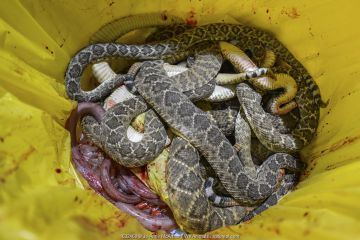Beheaded rattlesnake bodies in a bucket, annual Rattlesnake Roundup, Sweetwater, Texas, USA.