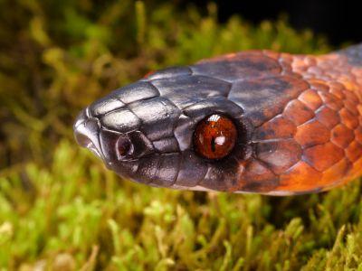 Tropical flat snake (Siphlophis compressus) sensing with its tongue, Orellana Province, Ecuador.