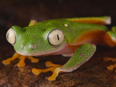 Leaf frog (Agalychnis hulli) blinking its eyes and turning around, Orellana Province, Ecuador.