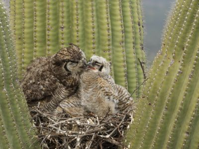 Great horned owl (Bubo virginianus) chick stretching its wings in nest in a Saguaro (Carnegiea gigantea), is groomed by its parent, Sonoran Desert, Arizona, USA, May.