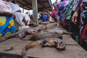 Bush meat - dead wild animalsincluding pangolin for sale on market stall, Epe, Lagos, Nigeria, West Africa.