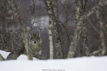 European grey wolf (Canis lupis) in snow-laden boreal birch forest, Nord-Trondelag, Norway.