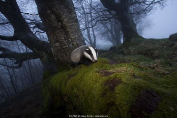 Young Badger (Meles meles) foraging in woodland on edge of woodland, The Black Forest, Germany.