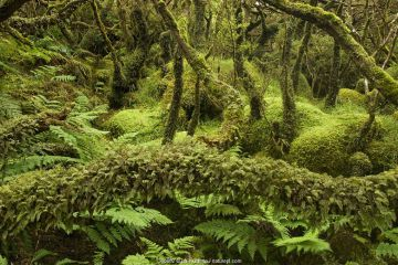 Laurisilva Forest,Terceira Island, Azores.