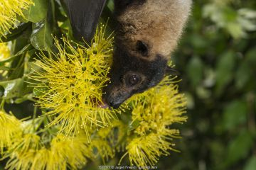 Spectacled flying fox (Pteropus conspicillatus) feeding on nectar from flowers of the Golden penda (Xanthostemon chrysanthus), Atherton Tablelands, Queensland, Australia.